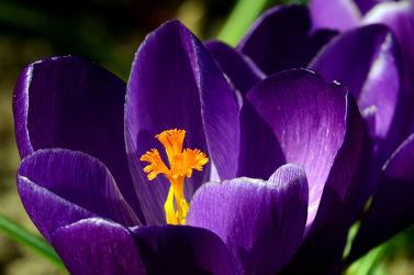 Bild mit Gelb, Blumen, Lila, Frühling, Makro, Krokusse, Zwiebeln