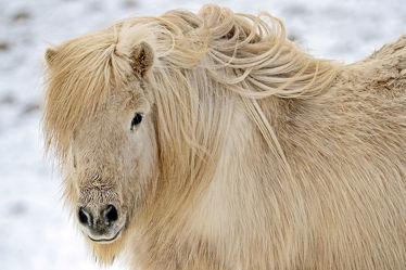 Bild mit Tiere, Säugetiere, Natur, Schnee, Pferde, Tier, Kinderzimmer, Pferd, Tierfotografie, Animal, Wildlife, Umwelt, Tierbild, Tierbilder, Tierfoto