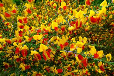Bild mit Gelb, Grün, Pflanzen, Blumen, Rot, Herbst, Felder, Dreifarbenmotiv, Ginster