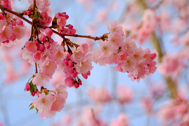 Bild mit Bäume, Frühling, Frühling, Sträucher, Japanische_Zierkirsche