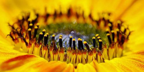 Bild mit Blumen,Makro,Sonnenblume,nahaufnahme,Kern,Mitte