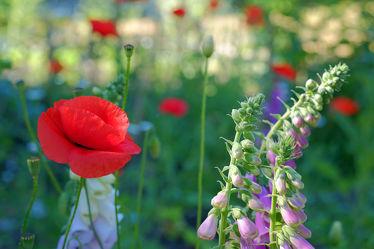 Bild mit Frühling, Mohn, Sonne, Mohnblume, Mohnfeld, Mohnblüte, Licht, Mohnblumen, garten, Schatten, Wildblumenbeet, mohnblüten