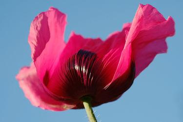 Bild mit Frühling, Frühling, Mohn, Sonne, Mohnblume, Mohnfeld, Mohnblüte, Licht, Mohnblumen, Wind, mohnblüten