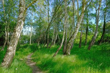 Bild mit Natur, Gräser, Bäume, Wälder, Birken, Birken, Sommer, Wege, Wald, Baum, Baum, Birke, Weg, Waldweg, Blätter, Sonnenschein, Waldrand, Birkenwanderweg, Wandern, Fußweg, waldwege