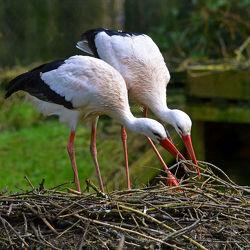 Bild mit Tiere, Vögel, Störche, Tier, Storch, Äste, Paar, Storchenhorst, Nest, Bauen, Bau