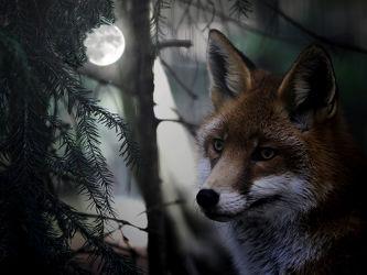 Bild mit Tiere, Dunkelheit, Wald, Tier, Säugetier, Nacht, Fuchs, Mondschein, Vollmond, Füchse