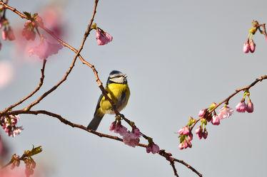 Bild mit Himmel, Frühling, Frühling, frühjahr, Ausspannen, Zierkirsche, Meise, Singvögel, Gesang, Gesang