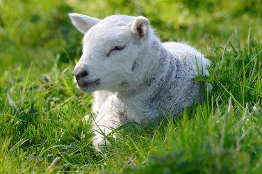 Bild mit Säugetiere, Frühling, Haustiere, Schafe, Weide, Nutztiere, Lamm, Lämmer, Osterlamm