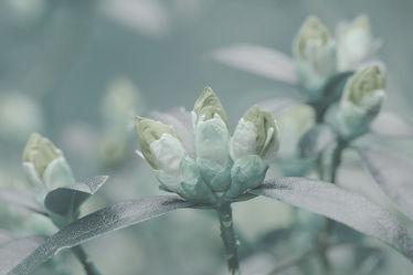 Azallenblüte