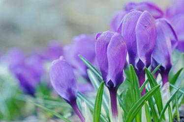 Bild mit Blumen, Parks, Lila, Blau, garten, Krokusse, Morgenlicht