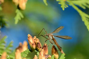 Bild mit Bäume, Insekten, Sträucher, Sommer, Zapfen, nahaufnahme, farbig, Ruheplatz, Dezent, Kohlschnake, Taxus