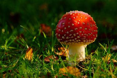 Bild mit Natur,Grün,Pflanzen,Gräser,Wälder,Weiß,Parks,Rot,Bunt,garten,nahaufnahme,farbig,Unterholz,fliegenpilz