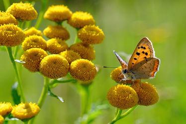 Bild mit Pflanzen, Blumen, Insekten, Sommer, Schmetterlinge, Blume, Schmetterling, Nektar, Insekt
