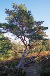 Bild mit Kiefern, Baum, Anhöhe, Naturpark, Schleswig, Holstein, Aukrug, Boxberg