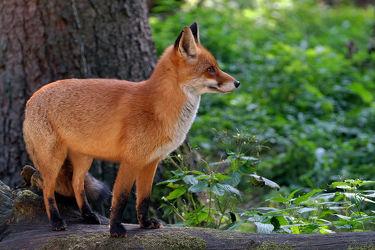 Bild mit Sonnenuntergang, Raubtiere, Säugetier, Abendstimmung, Nutztiere, Wachsam, Wachsam, Fuchs, Lauer, Jäger