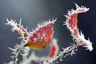Bild mit Blätter, Herbstblätter, Kälte, Frost, Raureif
