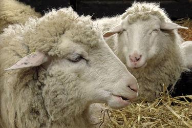 Bild mit Säugetiere, Köpfe, Stroh, Portrait, Schafe, Mutter, Stall
