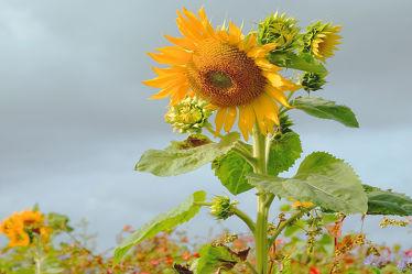Bild mit Pflanzen, Blumen, Herbst, Sonnenblume, Spätherbst, Ökowiese