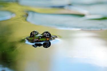 Bild mit Wasser, Gewässer, Teiche, Portrait, Kopf, Frosch, Porträt, Uferzone, Tauchstation