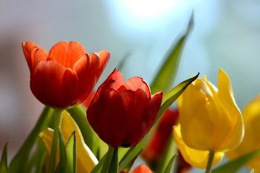 Bild mit Gelb, Grün, Frühling, Rot, Blau, Blätter, Tulpen, Licht, frühjahr, Geniessen, Freude, Frühlingsboten