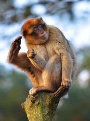 Bild mit Hände, Füße, Braun, Baum, Affe, Affen, Hochsitz, Abendsonne, Baumstumpf, Berberaffen, Baumsitz