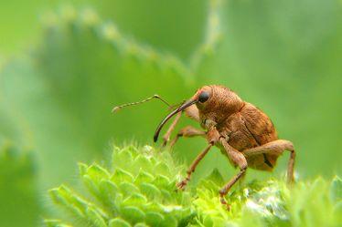 Bild mit Grün, Parks, Braun, Blätter, Laubwälder, garten, Insekt, Käfer, Haselnussbohrer, Curculia_nucum, Haselnusssträucher