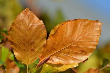 Bild mit Himmel, Winter, Herbst, Blau, Blätter, Buche, Buchenblätter, Buchenhecke, Sturmfest, Laubhalter, Laubabdrücker