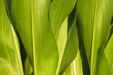 Bild mit Grün, Wellen, Blätter, Mais, Formen, Hellgrün, dunkelgrün, Maserungen, Maisblätter