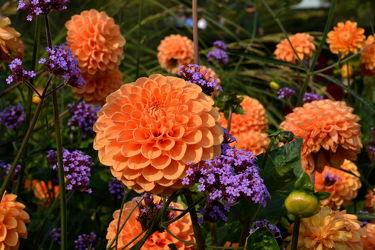 Bild mit Blumen, Rosa, Blau, Dahlien, Blume, Wiese, Blüten, garten, blüte, Wiesen, Dahlie, Bauerngärten, Blumengarten