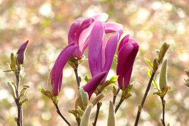 Bild mit Rosa, Rot, Blüten, Magnolien, edel, Magnolie, Blütenknospen, Knospen, Tulpenbaum, Magnolienblüte