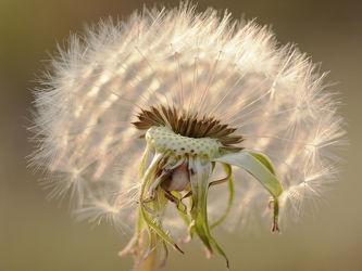 Bild mit Makro, Löwenzahn, Pusteblume, Abendlicht, Ostfriese, Vermehrung, Samenträger
