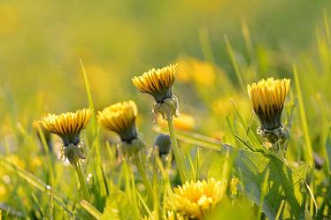 Bild mit Frühling, Felder, garten, blüte, frühjahr, Wiesen, Ostfriese, Taraxacum_officinale, Gemeiner_Löwenzahn, Dolden, Wegesränder, Gelbblüher