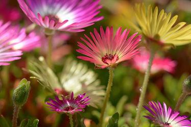 Bild mit Frühling, Sommer, Sonne, Licht, Blüten, nahaufnahme, Sonnenlicht, Mittagsblumen, Blütenköpfe, Pracht, Blühkraft