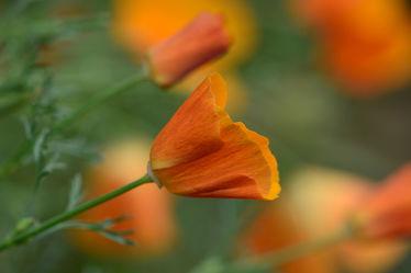 Bild mit Pflanzen, Wälder, Blumen, garten, Wind, Bauerngärten, Blumengarten, Kalifornischer_Mohn