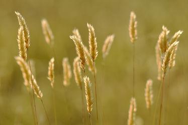 Bild mit Gräser, Gras, Feld, Felder, Tapeten, Hintergründe, Wiesen, Pollen, Abendlicht, Ostfriese, Kargfelder, Kargwiesen