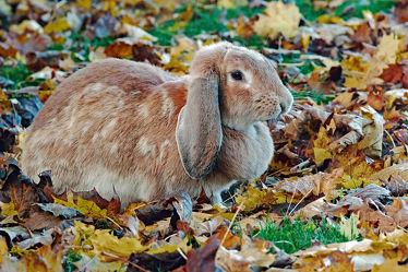 Bild mit Säugetiere, Herbst, Haustiere, Blätter, Sonnenschein, Kinder, Kaninchen, Sonnenlicht, Nutztiere, Freigang, Langohr