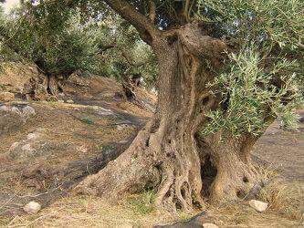 Bild mit alt, südeuropa, Kreta, Südkreta, Knorrig, Olivenbaum