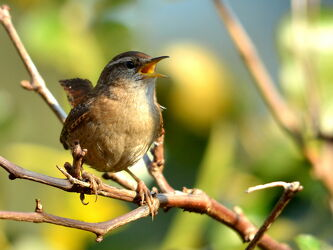 Bild mit Vögel, Zaunkönig, Troglodytes_troglodytes, Singvögel
