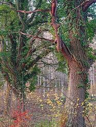 Bild mit Bäume, Wald, efeu, Berankt, Ranken