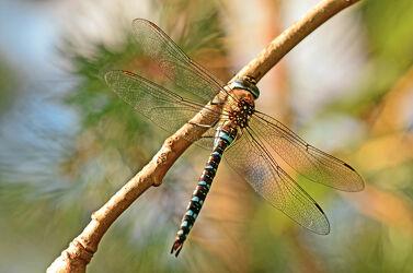 Bild mit Augen, Seen, Flügel, Männchen, Libellen, körper, Wiesen, Feuchtgebiete, Bäche, Edellibellen, Herbstmosaikjungfer, Blauschwarz, Flügelmal, Aeshna_mixta
