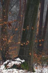 Bild mit Winter, Schnee, Baumstamm, Blätter, Buchen, Tropfen, Buchenblätter