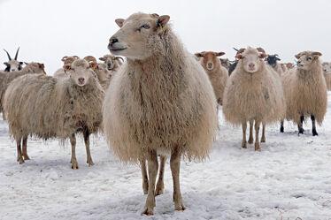 Bild mit Säugetiere, Winter, Schnee, Kinder, Schafe, Kälte, Nachwuchs, familie, Nutztiere, Junge