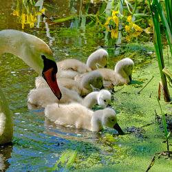 Bild mit Gewässer, Seen, Vögel, schwan, Fressen, Ostseeküste, Naturschutzgebiet, Polen, Vogelschutzgebiet, Schwänin
