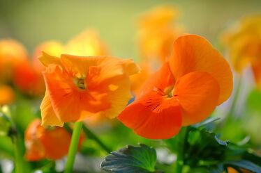 Bild mit Pflanzen, Frühling, Sonne, Makrofotografie, Licht, Stiefmütterchen