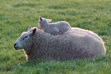 Bild mit Gräser, Kind, Weide, Wärme, Schaf, Mutter, Schutz, Schäflein, Geborgenheit