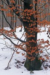 Bild mit Winter, Rotbraun, Baum, Blätter, Bunt, Buche, Äste, Rinde, stamm, Glatt
