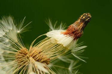 Bild mit Löwenzahn, Pusteblume, Dolde