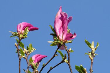 Bild mit Grün, Lila, Rot, Blätter, Blüten, frühjahr, pink, Äste, Magnolie, Eisheiligen