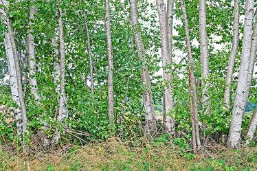 Bild mit Bäume, Birken, Sommer, Hain, Wall, Knicks, Reihe