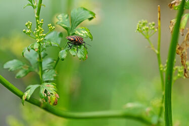 Bild mit Pflanzen, Blumen, Kräuter, Beete, Streifenwanze, Graphosoma, lineatum, Doldenblütler